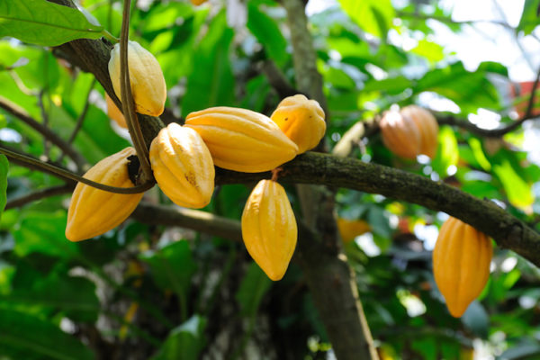 "Rio Tinto Borates joins ongoing partnership between the ""Cocoa Care"" program and IPNI SEAP"