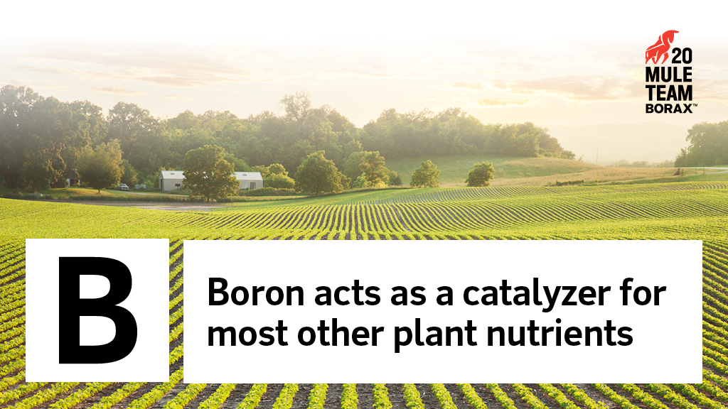 Boron Acts as a Catalyzer for Most Other Plant Nutrients